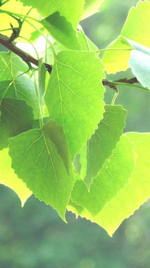 Leaf Close-up Green Color Growth Leaf Vein Plant Nature Focus On Foreground Day Branch Leaves Outdoors Beauty In Nature Freshness Tranquility Green No People Growing