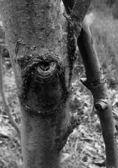 Close-up Focus On Foreground Tree What You Looking At? Illuminati Tree I See Eye Textured  Nature Branch Pareidolia What Do You Want? Evil Eye Stop Staring Outdoors Tree Trunk Birch Trunk Trees Have Eyes