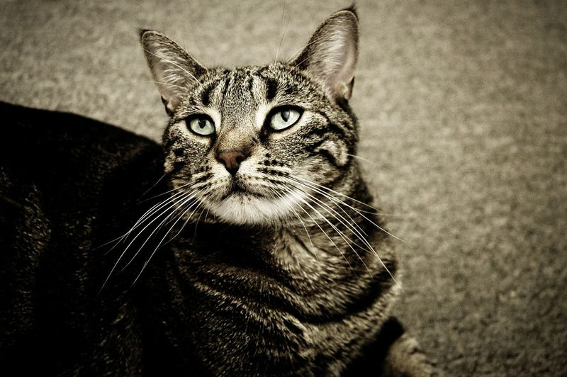 Domestic Cat Pets One Animal Domestic Animals Cat Whisker Feline Cats Cat♡ Cat Lovers Cats Of EyeEm Cats 🐱 Catlovers Cat Eyes Cat Photography I Love My Cat