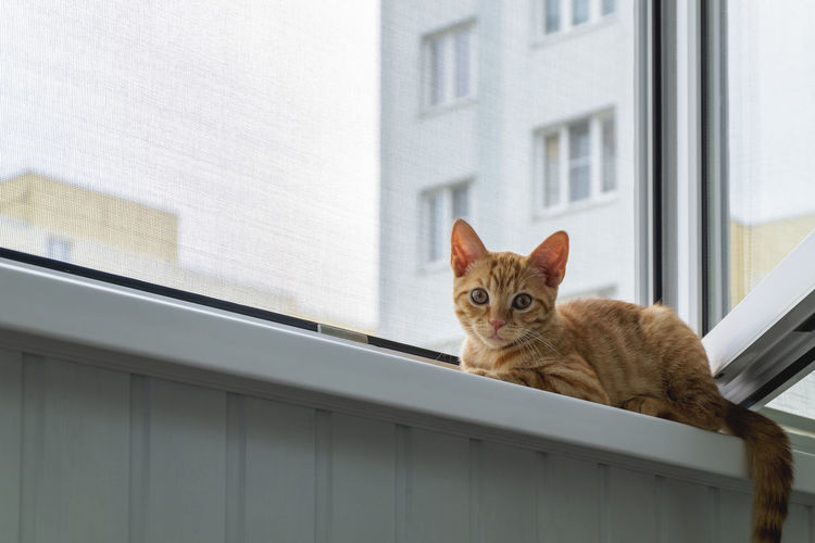 Ginger tabby kitten sits on the window sill with a protective mosquito and anti-vandal anti-cat net