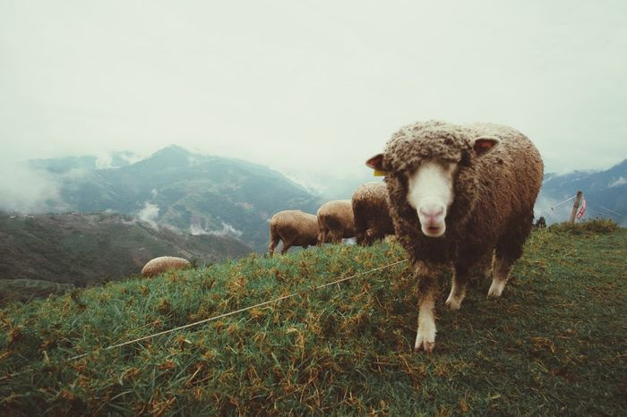 EyeEm Selects Mountain Domestic Animals Animal Themes Mammal Nature Landscape Livestock Grass No People Field Agriculture Mountain Range Outdoors Beauty In Nature Sheep