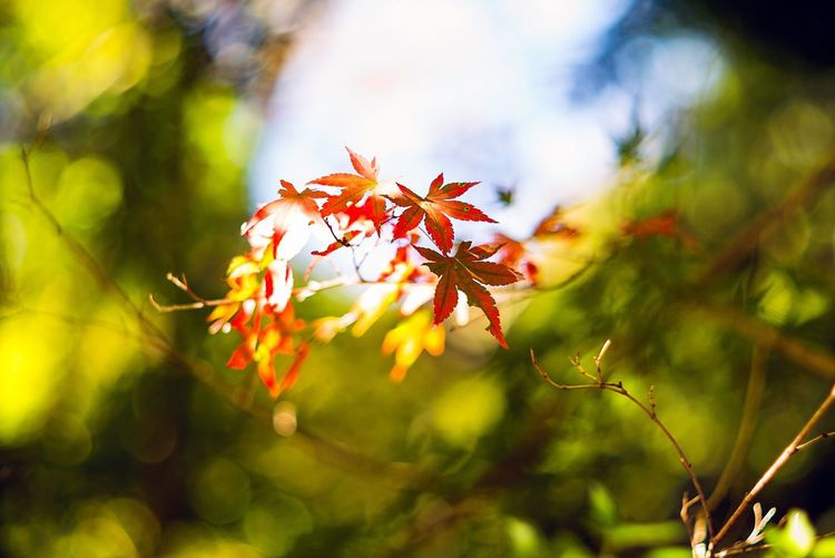 Close-Up Of Maple Leaves In Forest
