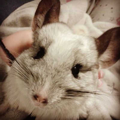 Missing my baby girl so much :( Chinchilla Mosaic Littlefeeties Cute