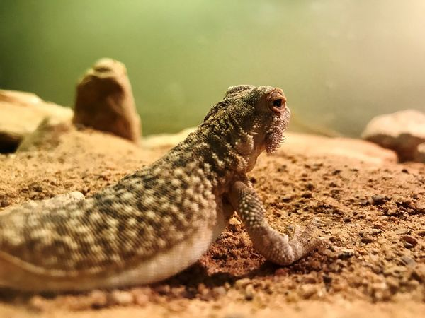 Animal Themes Animals In The Wild Reptile One Animal Selective Focus Rock - Object Animal Wildlife Nature No People Day Close-up Sand Outdoors