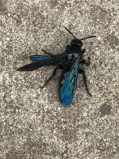 Beautiful blue wings Australia Invertebrate Animal Themes Animal Wildlife Animal Insect Animals In The Wild One Animal Close-up Day Black Color No People Directly Above Animal Wing Nature