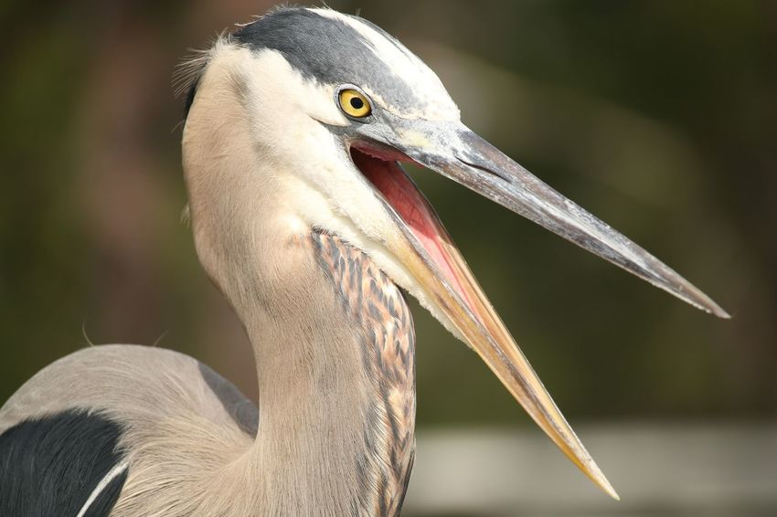 Heron EyeEm Selects Bird Beak Portrait Ibis Close-up Animal Body Part