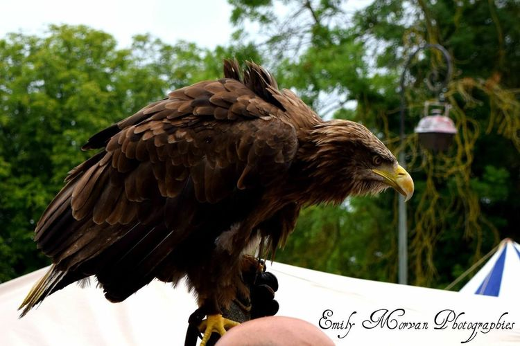 Bird Animal Themes Animal Wildlife One Animal Bird Of Prey Animals In The Wild Close-up Eagle - Bird Perching Outdoors Day Human Hand Nature Tree Human Body Part One Person People EmilyMorvanPhotographies NemoursMedieval Nemours