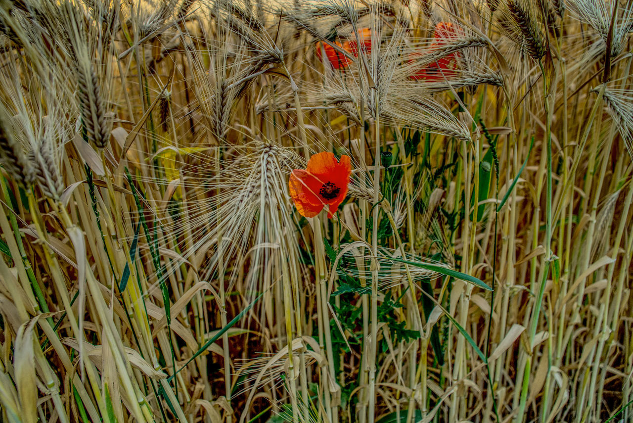 nature, growth, animal themes, one animal, plant, grass, red, beauty in nature, ladybug, outdoors, flower, field, day, animals in the wild, no people, green color, cereal plant, wheat, poppy, flower head, fragility, close-up, bird, freshness