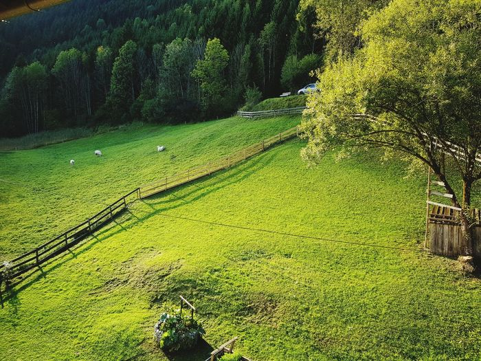 Green Color Meadow Meadow Flowers Alpine Alps Austria Sheep Sheep🐑 Sheeps Nature