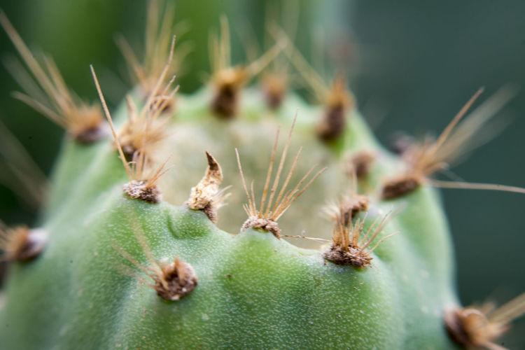 Bee Cactus