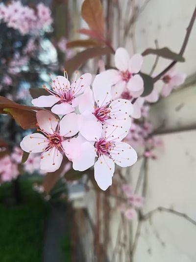 The Purist (no Edit, No Filter) Sakura In Serbia EyeEm Best Shots EyeEmNewHere EyeEm Nature Lover Eye4photography  Flower Head Flower Branch Springtime Tree Pink Color Petal Blossom Plum Blossom Close-up