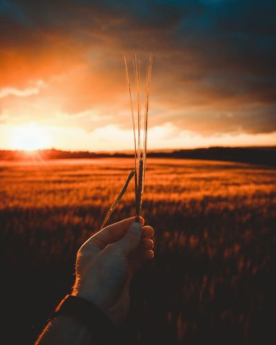 Cropped Hand Of Man Holding Wheat Crop At Farm During Sunset