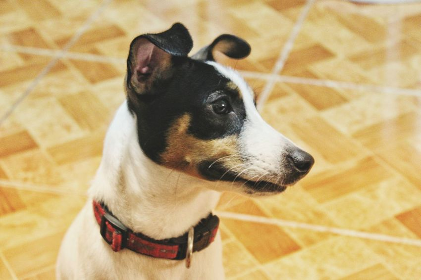 Eyeem Instagram Eyeem Philippines Jack Russell Terrier Eyeem Photography Sony A6000 A6000photography A6000 Dog Dog Pets Domestic Animals One Animal Animal Themes Mammal No People Close-up