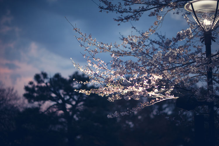 Low Angle View Of Cherry Blossoms By Illuminated Gas Light Against Sky At Dusk