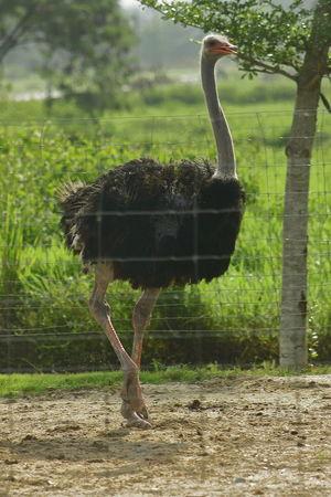 Bird Ostrich Ostrich Farm Animal Neck Animal Leg Animal Limb Tall - High Beak