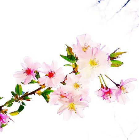 Spring a licious StillLifePhotography Wallpaper Flower Flowering Plant Plant Vulnerability  Freshness Fragility Beauty In Nature Pink Color Close-up Nature Inflorescence Blossom Springtime White Background Petal No People Outdoors