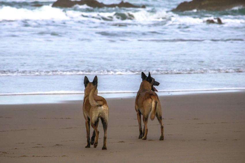 Belgian Shepherd Belgian Shepherds Beach Animal Sea Animal Wildlife Animals In The Wild Sand Animal Themes