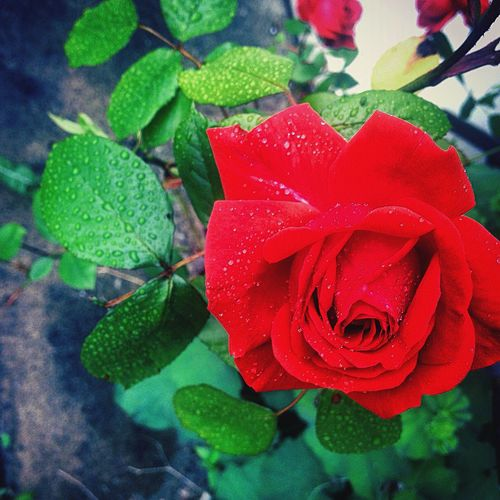 Rose 🌹😍 Nature Rose🌹 IPSWebsite