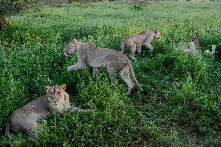 Safari in Hlane Royal National Park in Swaziland. Hlane Hlane Royal National Park Lion National Park Swaziland  Wildlife & Nature Animal Family Animal Themes Animal Wildlife Animals In The Wild Female Animal Grass Lion - Feline Lioness Nature Outdoors Safari