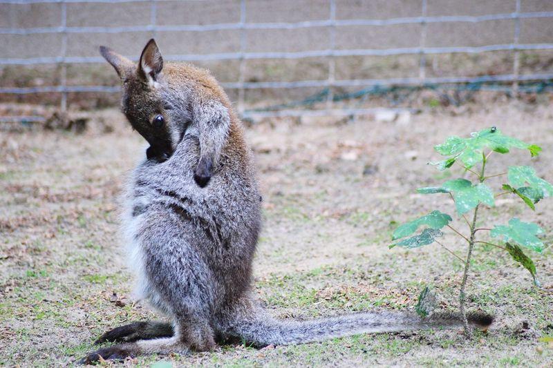 Young wallaby at zoo