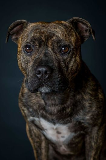 Dog Pets Portrait One Animal Studio Shot Domestic Animals Black Background Looking At Camera No People Animal Themes Mammal Close-up Outdoors Day Staffordshire Bull Terrier Staffies There Softer Than You Think Staffylove Pet Portraits