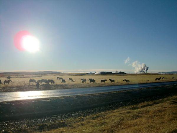 Iceland Islandpferd  Sunlight Summer Road Tripping