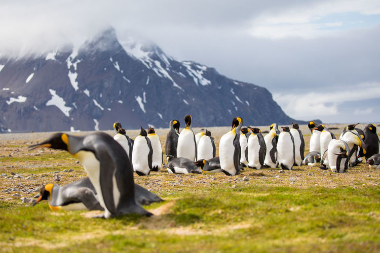 Penguins On Field By Mountains Against Sky