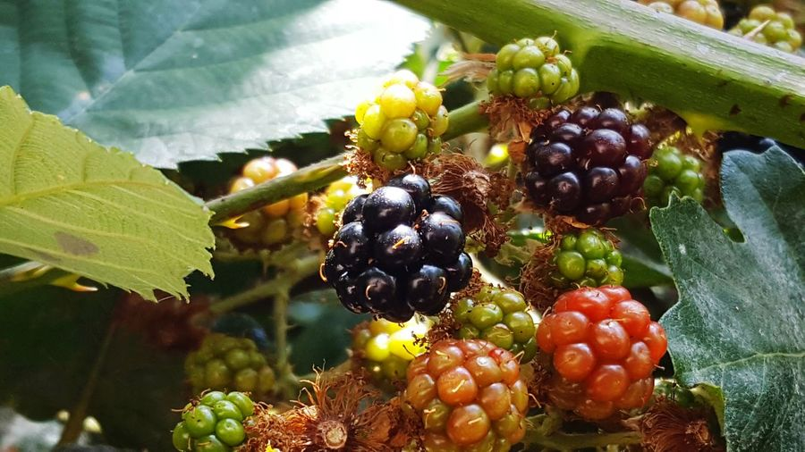 Close-up of blackberries growing on plant