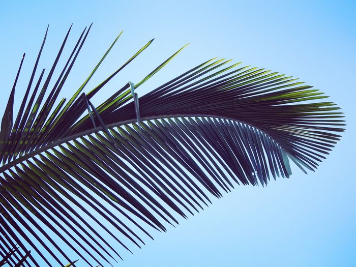 Clear Sky Low Angle View Outdoors Blue No People Day Tree Sky Nature Close-up Palm Palm Tree Palm Leaf Leaf Tropical Holiday Backgrounds The Week On EyeEm Been There. Done That. Perspectives On Nature EyeEm Ready   Go Higher Summer Exploratorium Visual Creativity