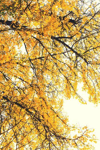 銀杏3 Fall Beauty Nature Colors Yellow Power In Nature Tree