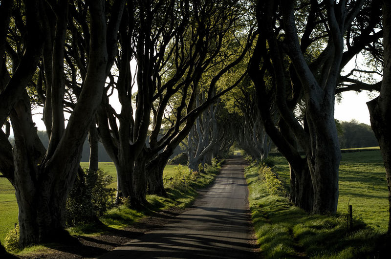The Dark Hedges in the afternoon Dark Hedges Ireland Tree Tree Trunk Branch Rural Scene Sky Tree Area