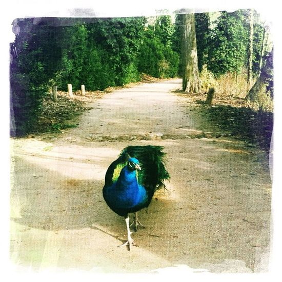#berlinbrandenburg #germany #havel #pfaueninsel #pfau