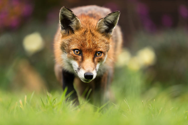 Portrait of red fox standing on grass