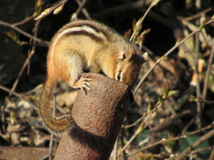 Chimpmunk Springtime Critter Rodent Nature EyeEm Selects Closing Tree Close-up