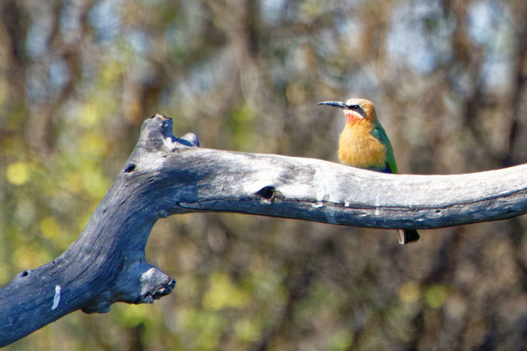 Colourful white-fronted bee-eater on dead branch Bee-eater White-fronted Bee-eater Merops Bullockoides Dead Tree Dead Wood Dead Branch Caprivi Namibia Africa Okovango Delta Okovango Okovango River Cubango River Colorful EyeEm Selects Bird Perching Tree Close-up Beak