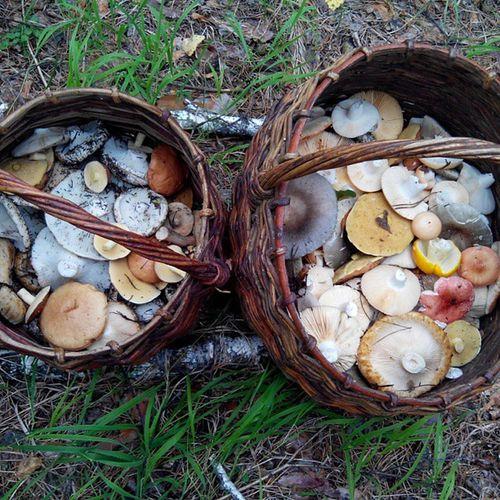Набрали немного грибов по дороге на Шушенское возле реки Оя