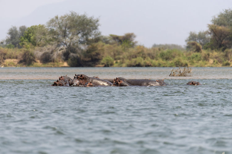 View of hippos swimming in the lake
