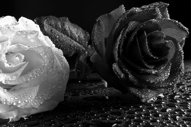 Rosé Rose - Flower Freshness Flower Petal Beauty In Nature Flowering Plant Inflorescence Flower Head Plant Aroma Aromatic Black Background Water Drop Fragility Water Drop Close-up Monochrome Black And White Black & White Black Background Bouquet Pattern Pattern, Texture, Shape And Form