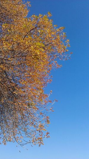 Autumn Blue Clear Sky Freshness Leaf Low Angle View No People Tree