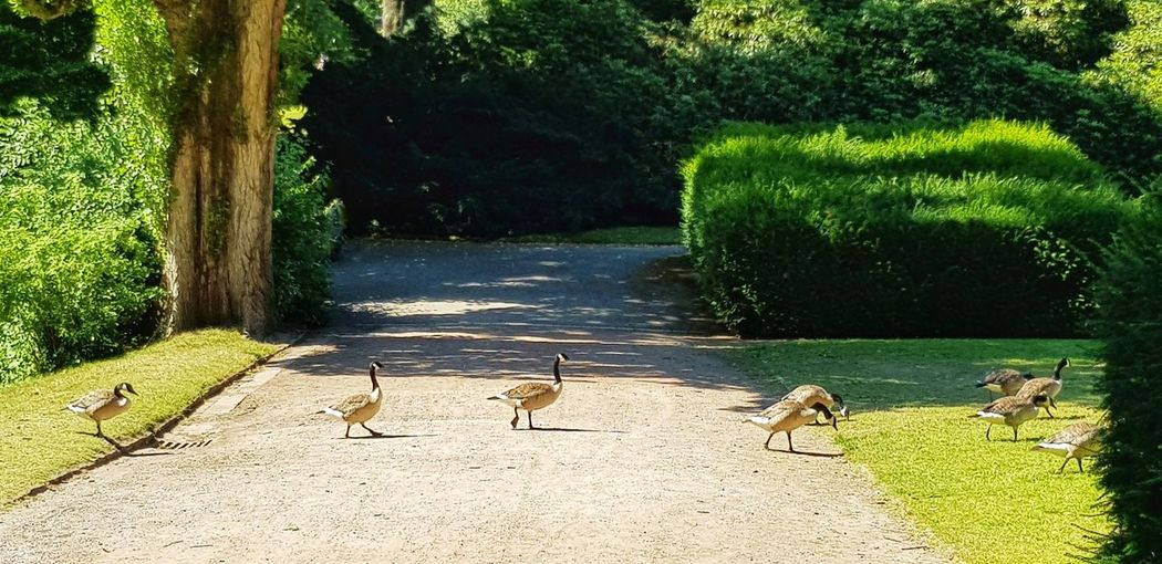 """""""Gänsemarsch"""" 🦆 Togetherness On The Way In A Row Large Group Of Animals Animal Themes Stadtpark Gänsemarsch Nature EyeEm Best Shots EyeEm Nature Lover Slow Motion Green Green Green!  Draußen Im Grünen Beauty In Nature Eye4photography  Bird Tree Goose Lakeshore Geese Water Bird The Photojournalist - 2018 EyeEm Awards The Great Outdoors - 2018 EyeEm Awards #urbanana: The Urban Playground A New Beginning"""