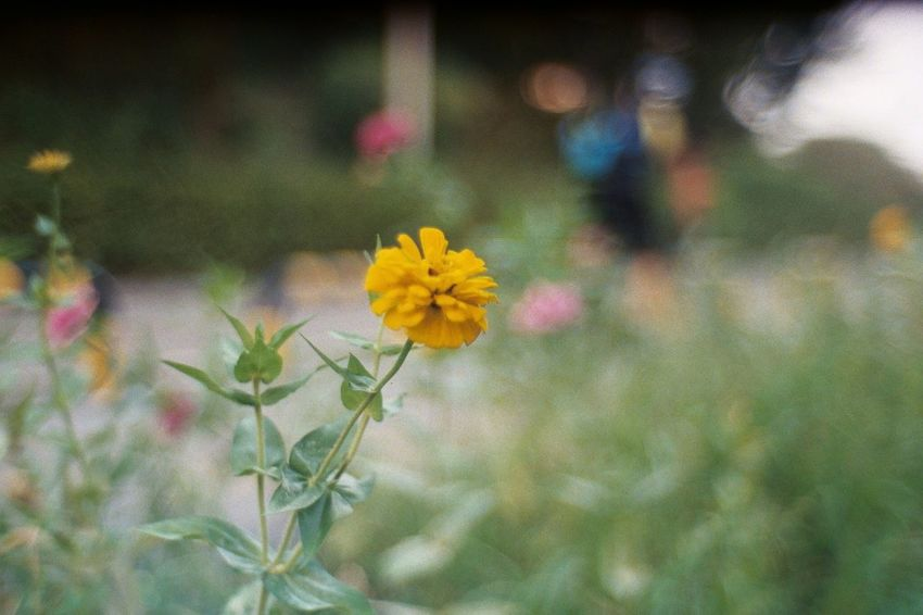 roadside Contax IIa Kodak Ultramax 400 Flower Freshness Nature Fragility Outdoors Yellow Day Plant Beauty In Nature Flower Head
