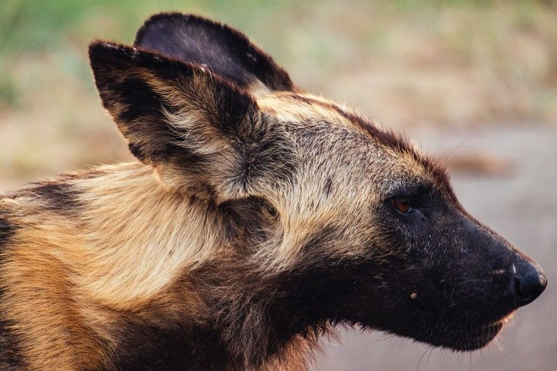 Close-Up Portrait Of African Wild Dog