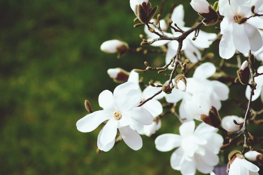 Hello World Hello Hamburg Hello Spring Hasselbrooklyn Magnolia Magnolia_Blossom White Color Nature Flower Beauty In Nature Springtime Close-up Blossom Outdoors Flower Head Enjoying Life Taking Pictures Click Click 📷📷📷 Canon Germany🇩🇪
