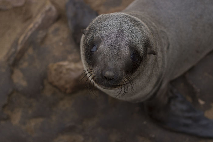 Cape Cross Seal Reserve Namibia NamibiaPhotography Animal Themes Animal Wildlife Animals In The Wild Aquatic Mammal Baby Seal Close-up Day Looking At Camera Mammal Nature No People One Animal Outdoors Portrait Sea Lion Seal Seal - Animal