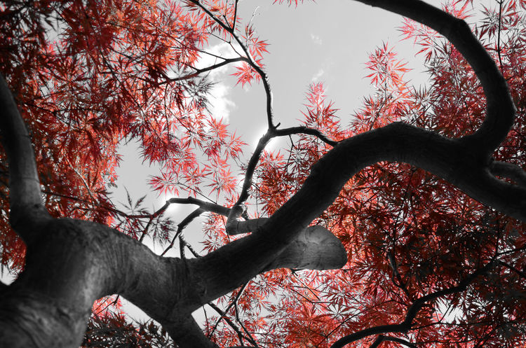 Acero Red Plant Japanese Culture Garden Photography Nature_collection Flowers,Plants & Garden Naturaleza Relaxing Textures In Nature Natural Beauty Old Tree Freedom Taking Photos Nature And Skys