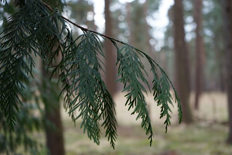 Tree Plant Focus On Foreground Growth Day Close-up No People Nature Tranquility Outdoors Branch Green Color Hanging Pine Tree Twig Dry Leaf Beauty In Nature Plant Part Coniferous Tree