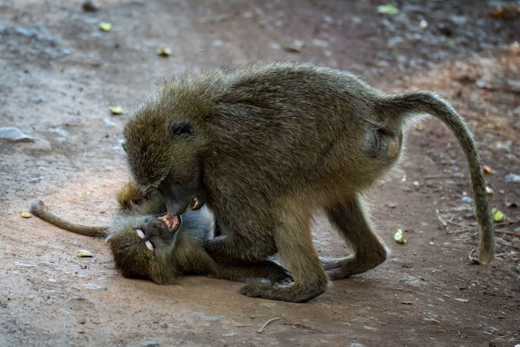 Nature Tanzania Travel Africa Animal Animal Family Animal Wildlife Animals Animals In The Wild Baboon Day Eating Food Group Of Animals Mammal Mammals Nature No People Olive Baboon Outdoors Primate Two Animals Vertebrate Wildlife Young Animal