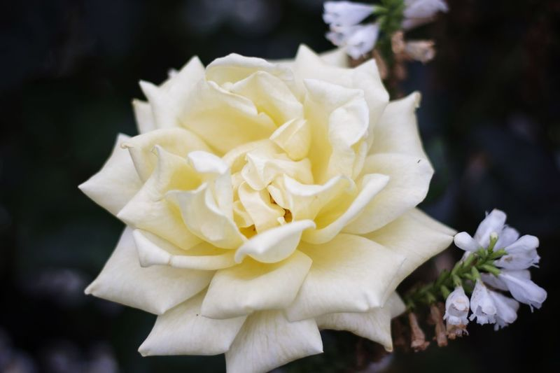 Rosé Flower Blume Weiss Garten Blüte TakeoverContrast