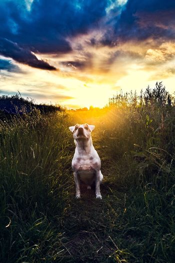 Dog Sitting On Grassy Field Against Cloudy Sky During Sunset