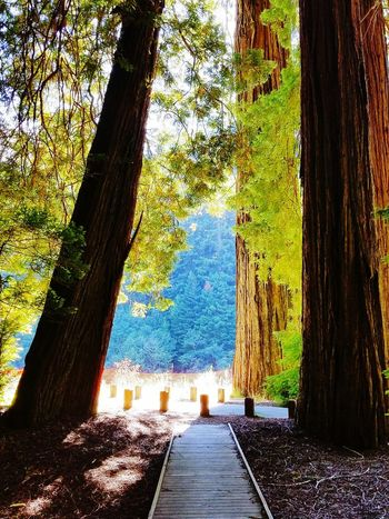 Beautiful Sunshine In The Redwoods Beautiful Redwood Trees Redwood Trees Shade Tree Tree Trunk Shadow Sunlight Sky Pathway Woods Branch Walkway Countryside